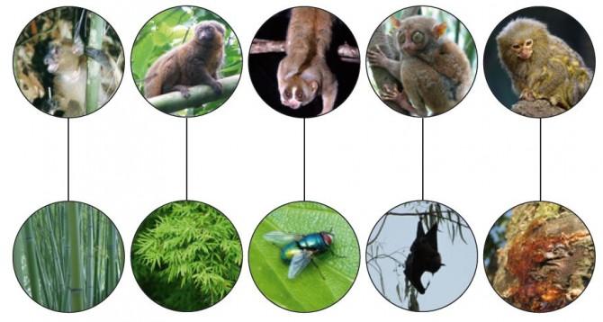 본문에 등장하는 다양한 원숭이와 그들의 먹이를 연결한 그림. 왼쪽부터 큰대나무여우원숭이, 황금대나무여우원숭이, 슬로우 로리스, 안경원숭이, 피그미마모셋. - 과학동아 제공